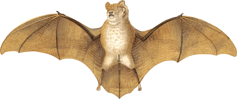 Gervais's funnel-eared Bat