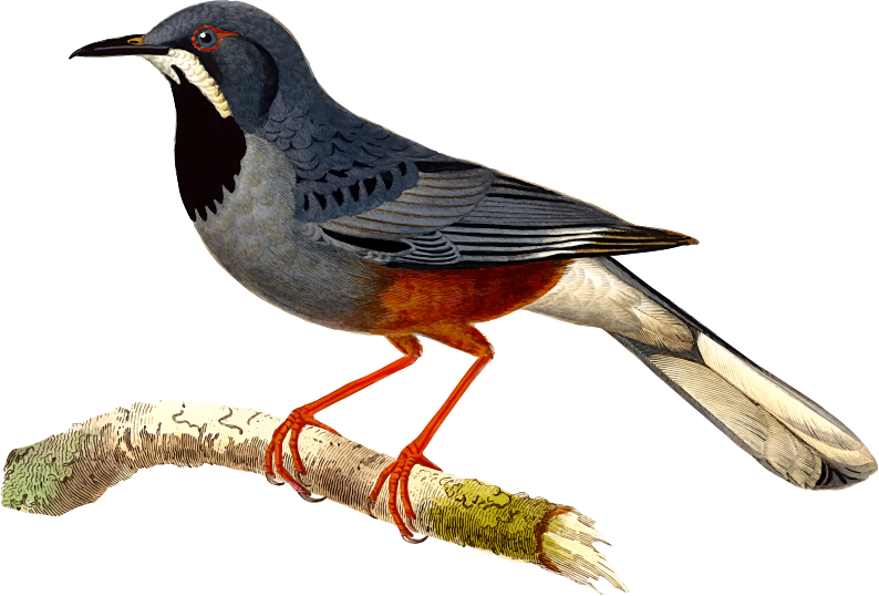 Western red legged thrush