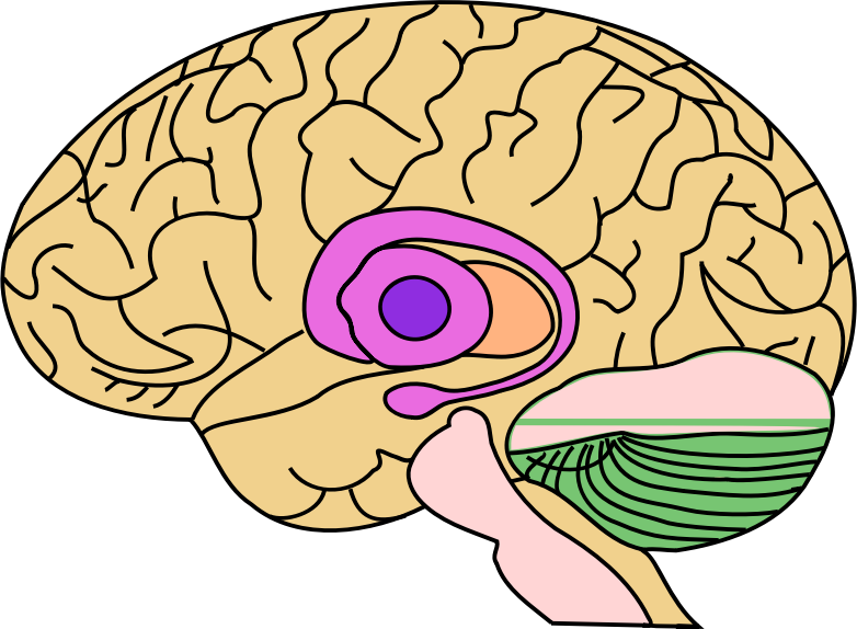 Brain Profile Illustration