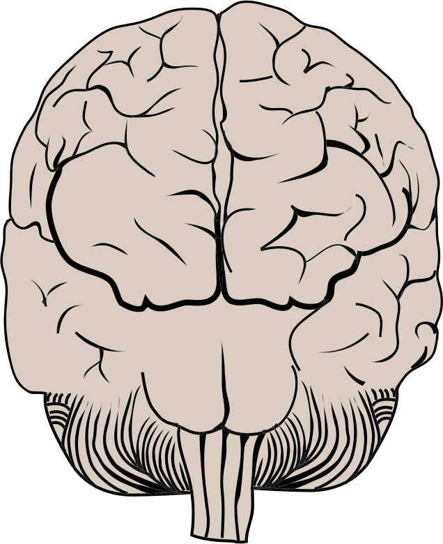 Brain Posterior View