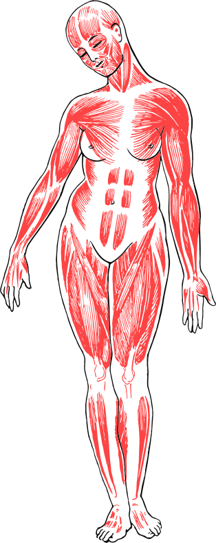 Female Musculature Line Art