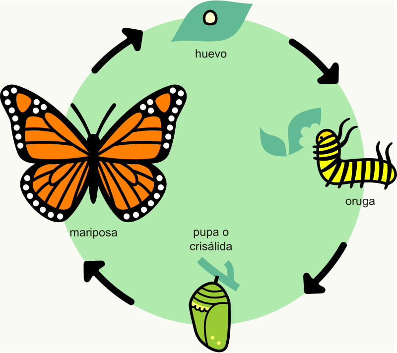 A butterfly's lifecycle