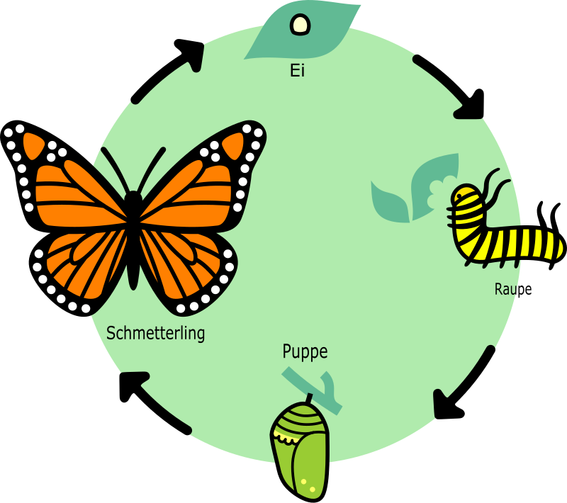 Butterfly's Lifecycle - German