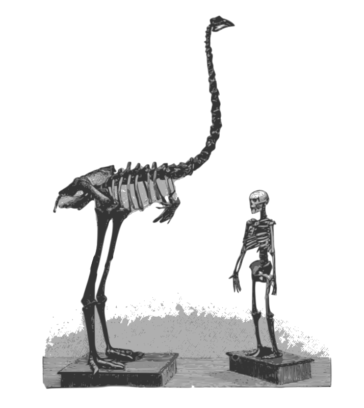 Moa and Human Skeletons