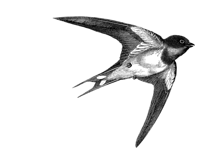 swallow black&white