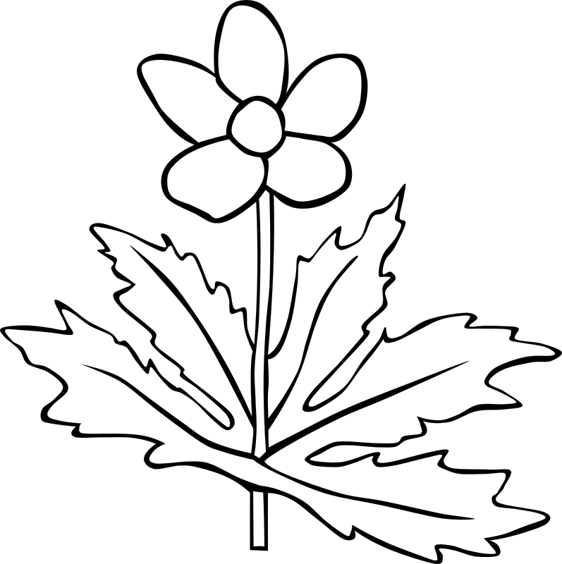 Anemone Canadensis Flower Outline