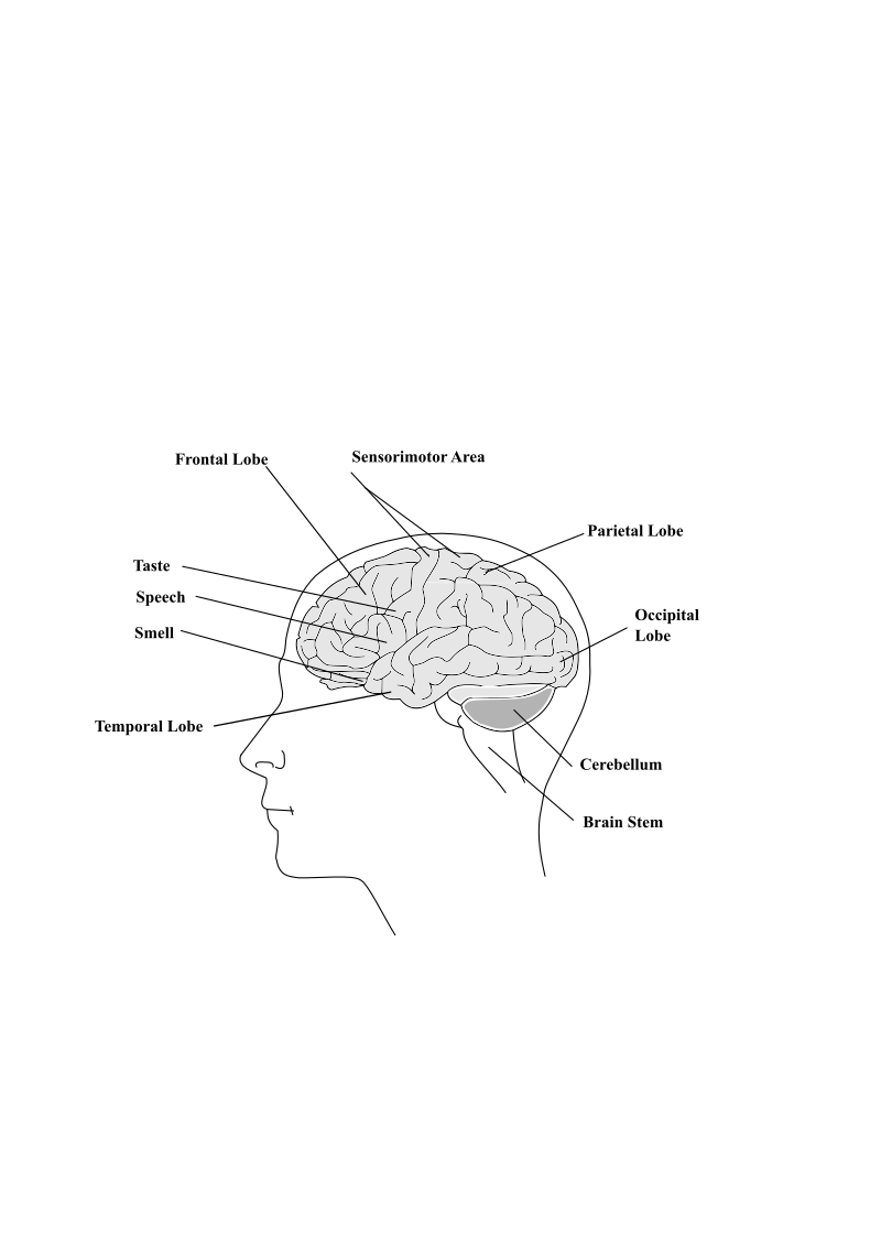 Human Brain by ozhank - A drawing of human brain showing major areas.