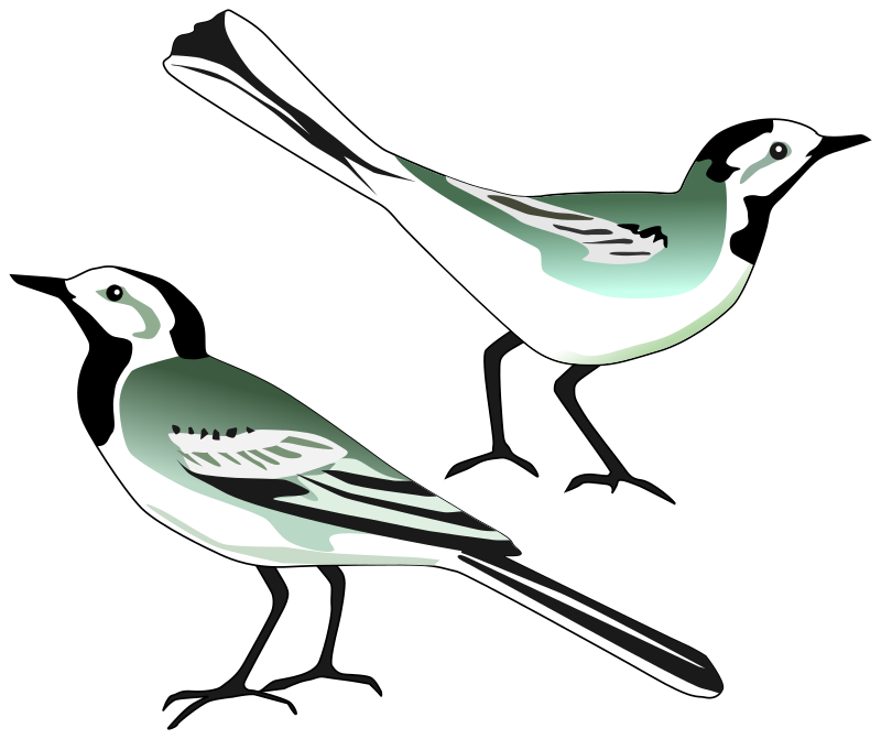 White Wagtail by pesasa - White Wagtail drawn after http://commons.wikimedia.org/wiki/File:White_wagtail.jpg