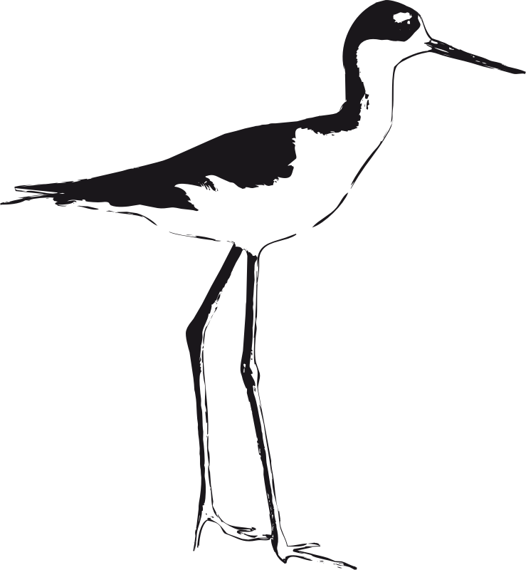 Black-necked Stilt  by luchapress