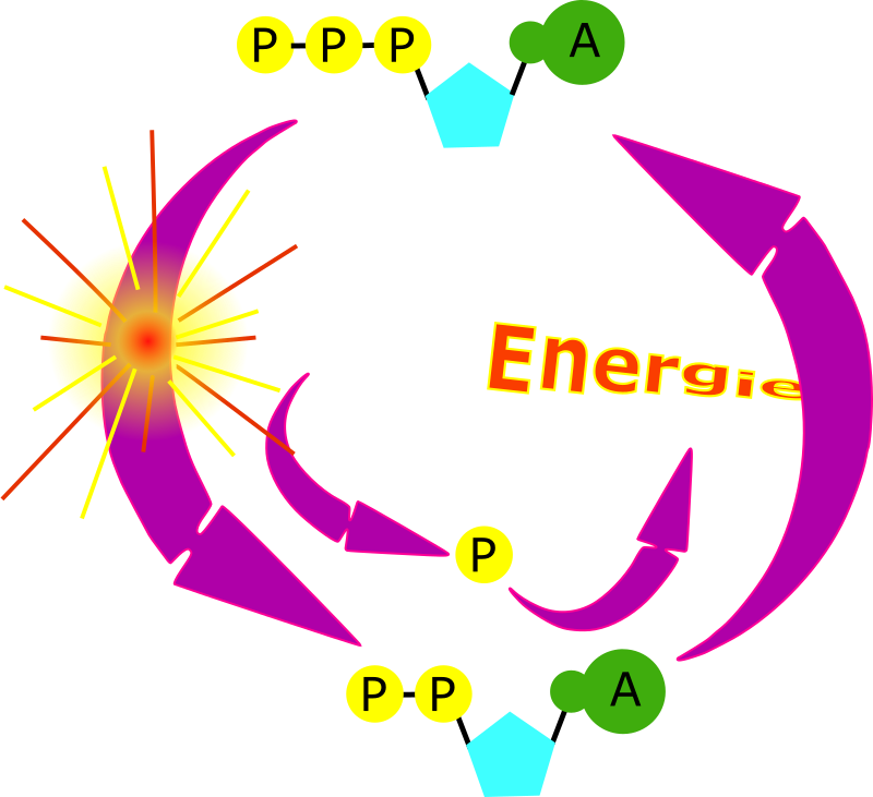 cycle ATP by laurent - ATP cycle diagram.