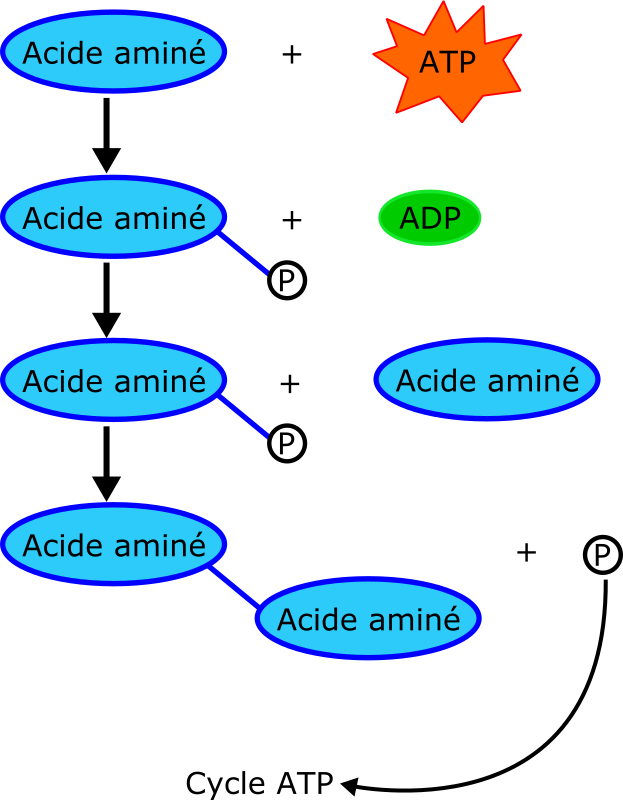 proteine by laurent - A protein cycle diagram.