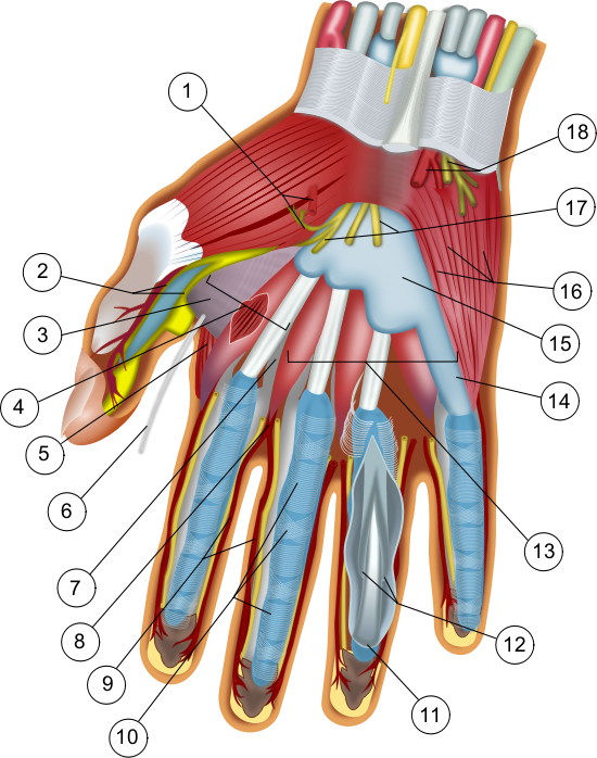 wilfredor_39c8d3e5 by wilfredor - Anatomy of a Hand