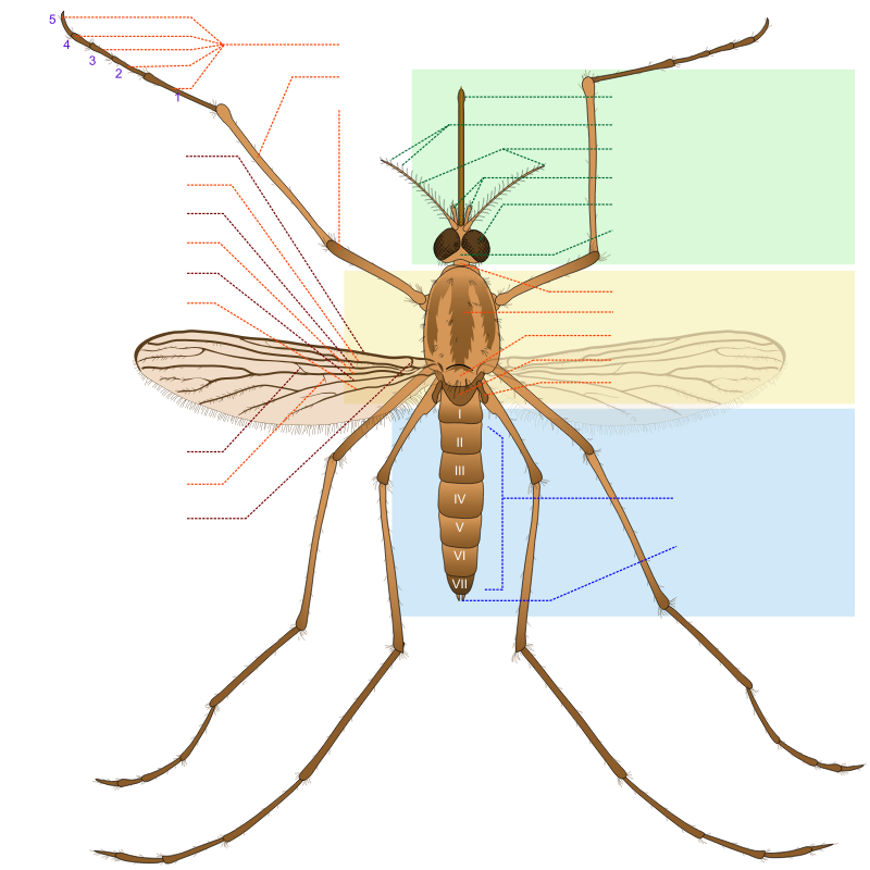 Mosquito parts FR by J_Alves - A generic mosquito scheme describing its anatomy, with labels in French. Great work done by LadyofHats, taken from Wikepedia: http://en.wikipedia.org/wiki/File:Culex_pipiens_diagram_en.svg