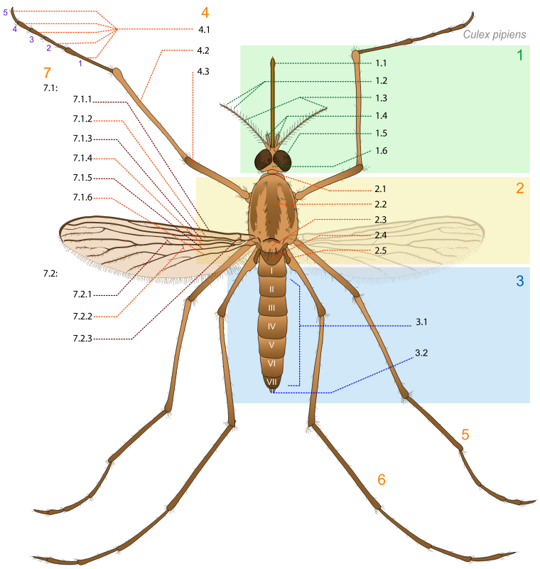 Mosquito parts by J_Alves - A generic mosquito scheme describing its anatomy, with numbers as labels. Great work done by LadyofHats, taken from Wikepedia: http://en.wikipedia.org/wiki/File:Culex_pipiens_diagram_en.svg
