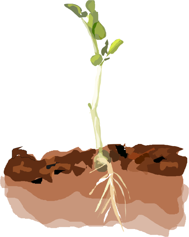 Sprouting Pea by Degri - Pea sprouting out of the ground.