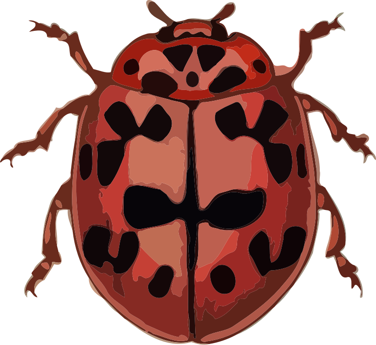 Coccinella conglobata by paulvern - A full color image taken from an old book (copyright free) and hand edited. For other free images and ebooks about insects have a look at my site: