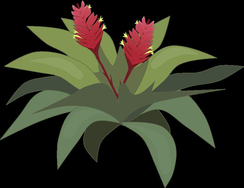 Clipart Bromelia