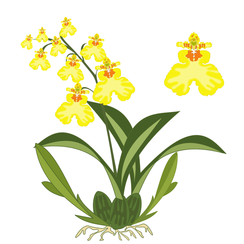 Oncidium by jpenrici