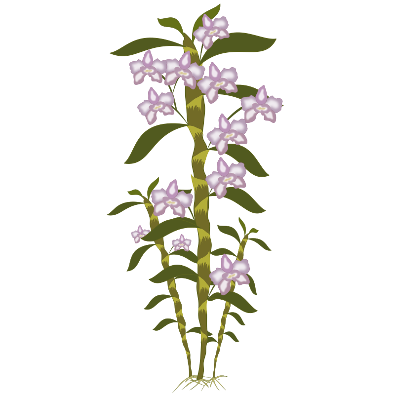 dendrobium by jpenrici - A clipart of a dendrobium.