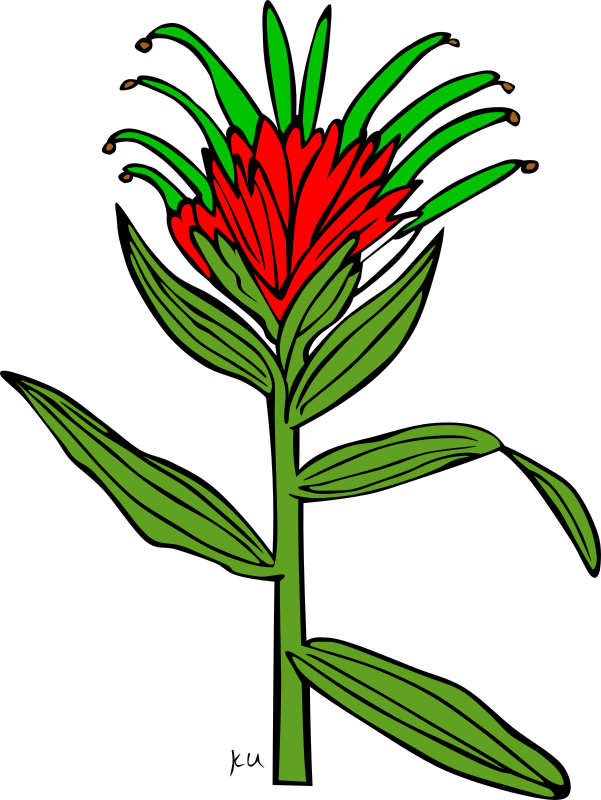 KU Castilleja Miniata by Gerald_G - :     ...done by Karl Urban at Umatilla National Forest in Oregon. They are meant to be used as coloring book pages for Celebrating Wildflowers and other educational activities. Karl put the drawings into the public domain...