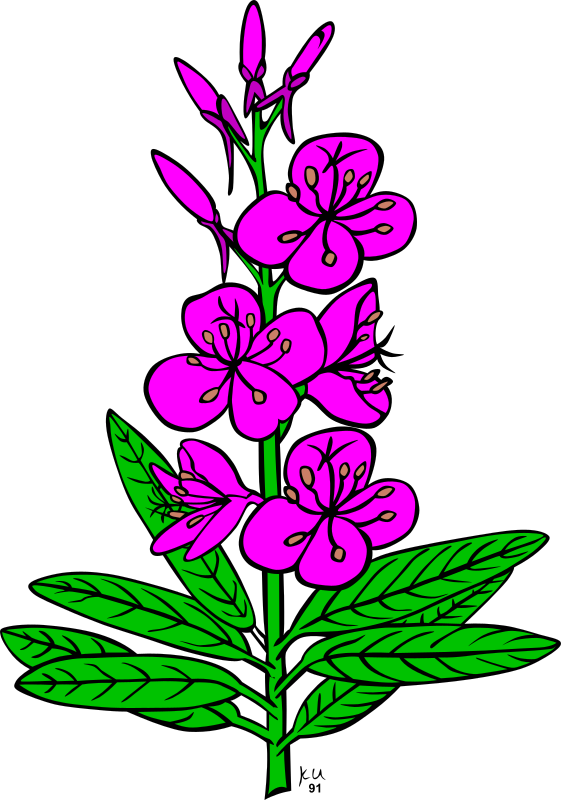 KU epilobium angustifolium by Gerald_G - :     ...done by Karl Urban at Umatilla National Forest in Oregon. They are meant to be used as coloring book pages for Celebrating Wildflowers and other educational activities. Karl put the drawings into the public domain...