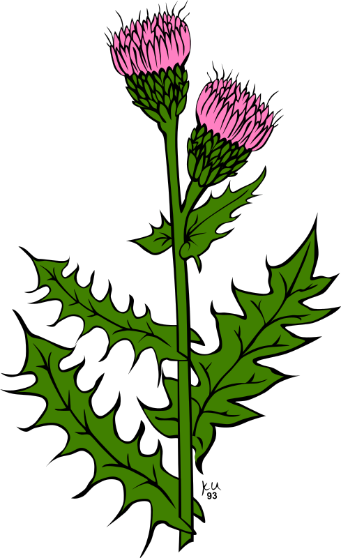 KU cirsium arvense by Gerald_G - :     ...done by Karl Urban at Umatilla National Forest in Oregon. They are meant to be used as coloring book pages for Celebrating Wildflowers and other educational activities. Karl put the drawings into the public domain...