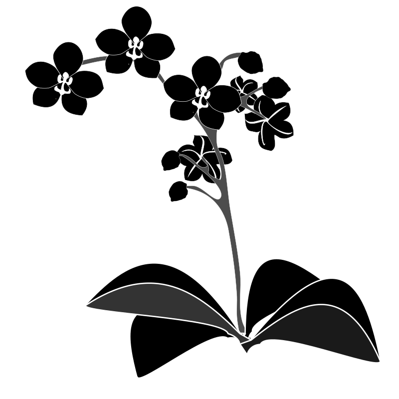 Clipart - Phalaenopsis