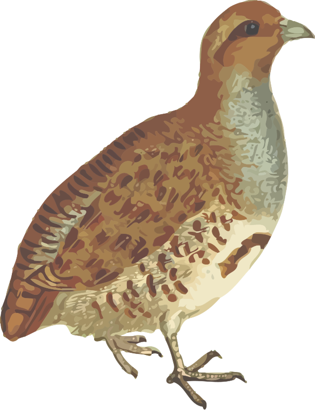 Clipart - Grey partridge (isolated)