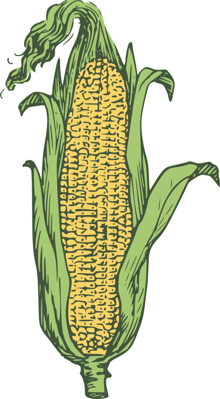 ear of corn - colored by Anonymous - An ear of corn colored.