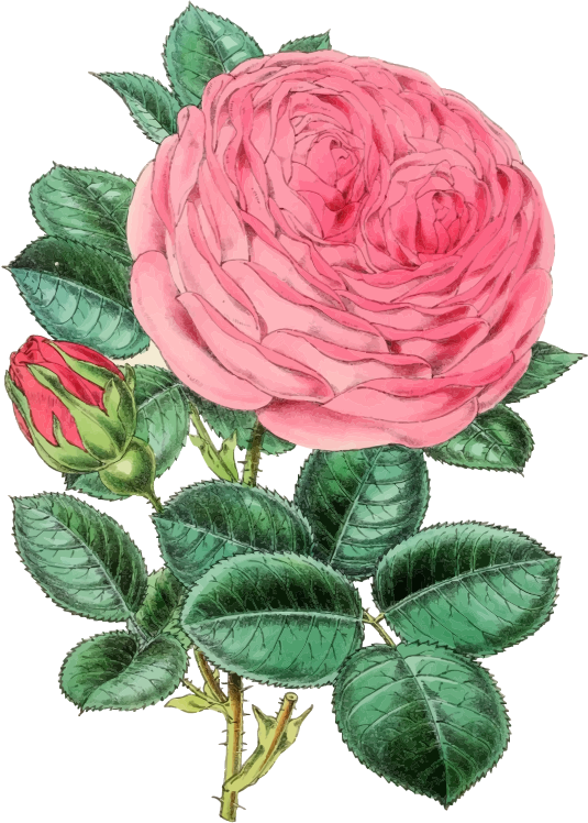 The Vintage Rose 97