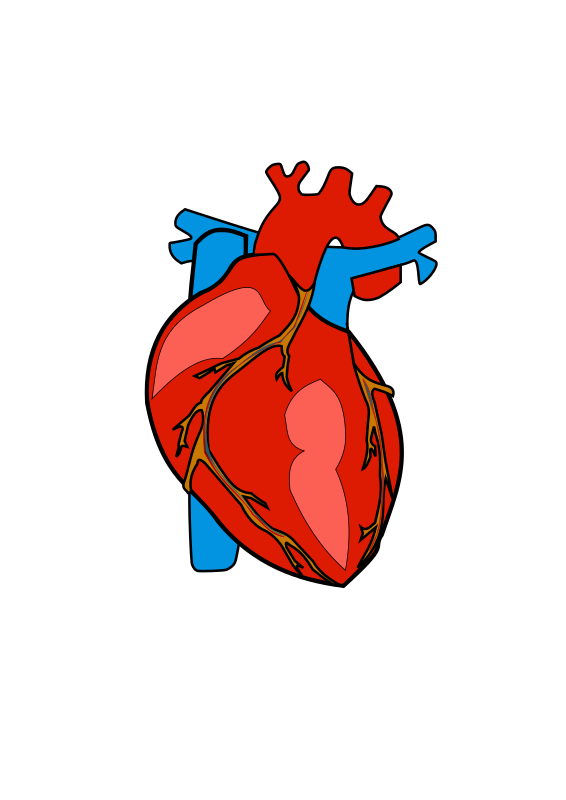 clipart of a human heart - photo #5