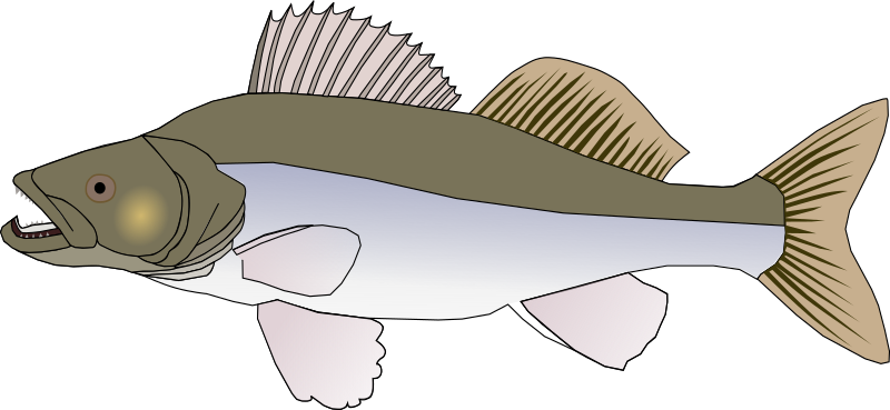 pikeperch by Machovka - Pikeperch fish.