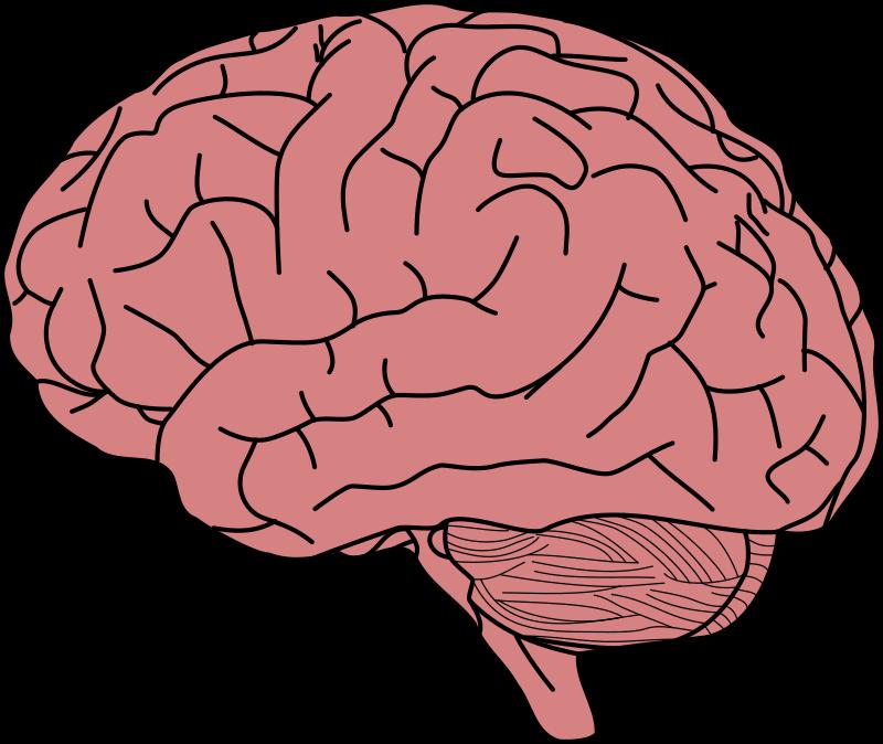 real brain clipart animated brain clipart jaxstorm