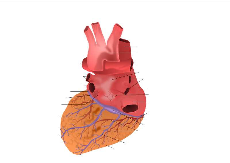 Human Heart Posterior View by kablam