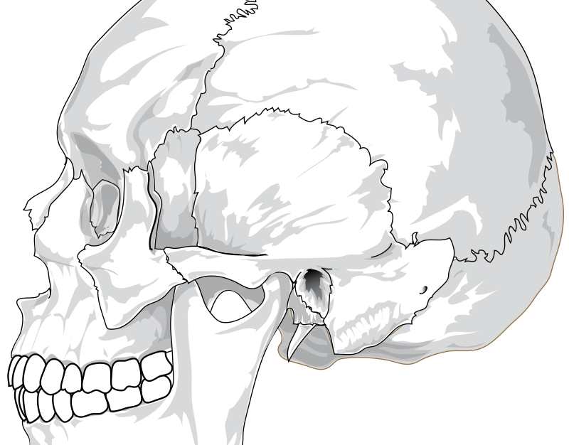 Human skull (side view) by liftarn - Based on http://commons.wikimedia.org/wiki/Image:Wormian_bones.svg
