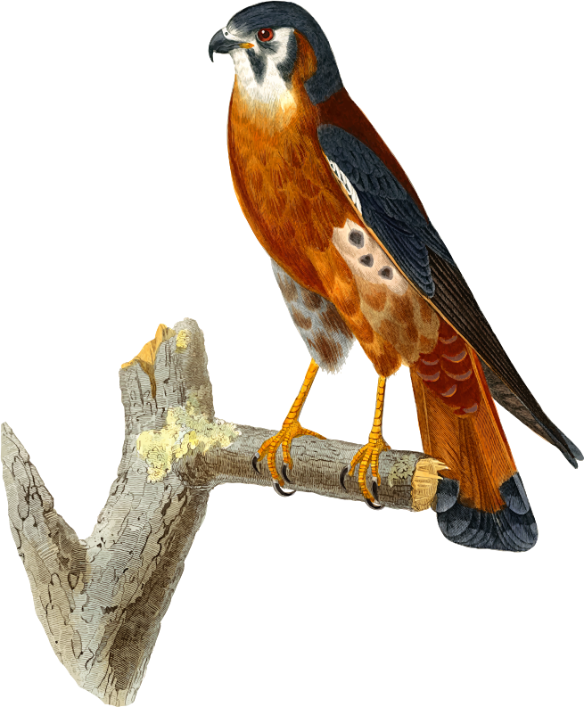 Who Are American People >> Clipart - American Kestrel