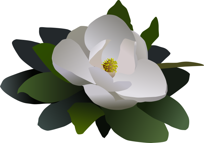 clipart magnolia flower flor magnolia tree clipart magnolia clipart free