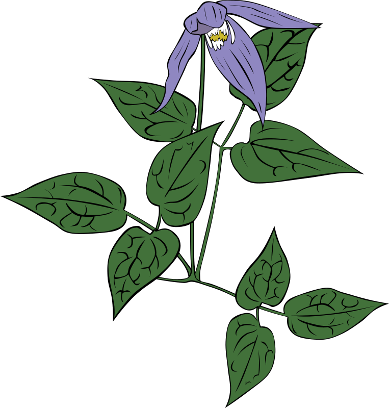 clematis occidentalis by Gerald_G - As observed in the woods.