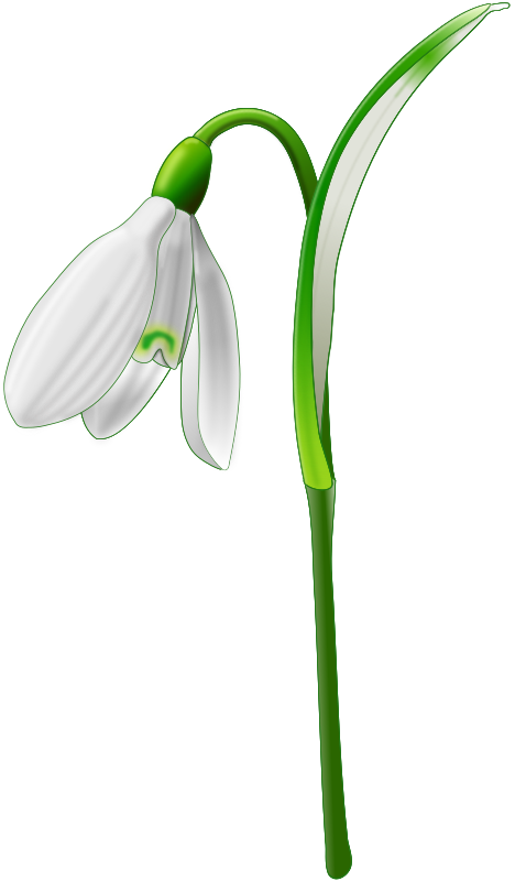 Snowdrop (Galanthus nivalis) by Andy_Gardner