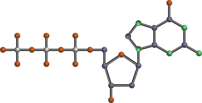 dGTP by J_Alves - 2'-deoxyguanosine 5'-triphosphate, or dGTP, one of the nucleotides (basic units) that make up DNA (deoxyribonucleic acid), the genetic material of all cellular organisms. Done in Inkscape. Oxygen is red, nitrogen is green, phosphorus is silver, the rest is carbon. No hydrogens.