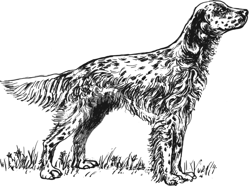 English setter grayscale by papapishu - Source: http://commons.wikimedia.org/wiki/File:English_setter_%28PSF%29.png  This image was donated by Pearson Scott Foresman, an educational publisher, to Wikimedia Commons, and is thereby in the Public Domain.  See