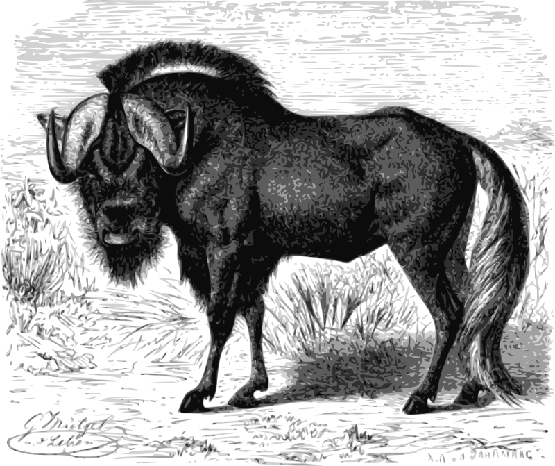 Gnu  by papapishu - This image was donated by Pearson Scott Foresman, an educational publisher, to Wikimedia Commons, and is thereby in the Public Domain.