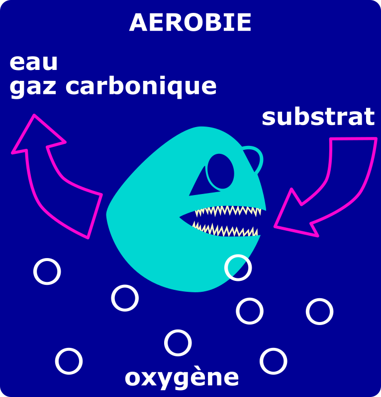dégradation aérobie by laurent - degradation de la pollution par une bactérie