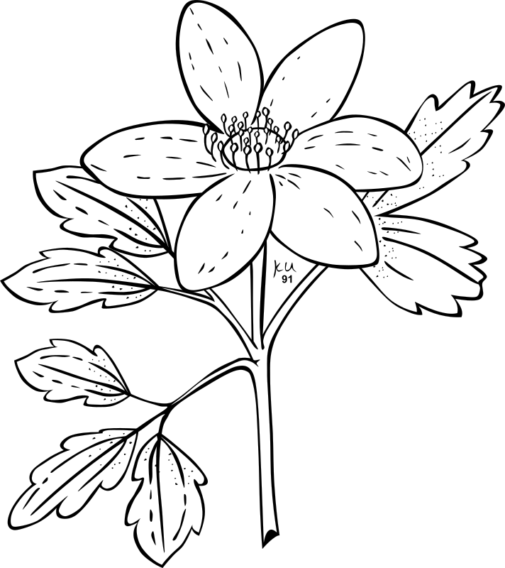 KU Anemone Piperi by Gerald_G - ...done by Karl Urban at Umatilla National Forest in Oregon. They are meant to be used as coloring book pages for Celebrating Wildflowers and other educational activities. Karl put the drawings into the public domain...