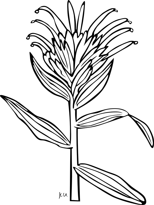 KU Castilleja Miniata by Gerald_G - ...done by Karl Urban at Umatilla National Forest in Oregon. They are meant to be used as coloring book pages for Celebrating Wildflowers and other educational activities. Karl put the drawings into the public domain...
