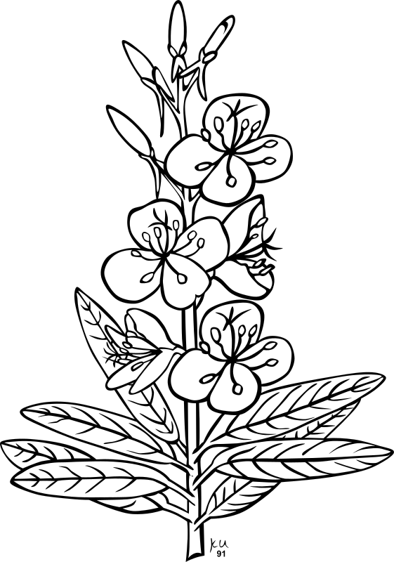 KU epilobium angustifolium by Gerald_G - ...done by Karl Urban at Umatilla National Forest in Oregon. They are meant to be used as coloring book pages for Celebrating Wildflowers and other educational activities. Karl put the drawings into the public domain...