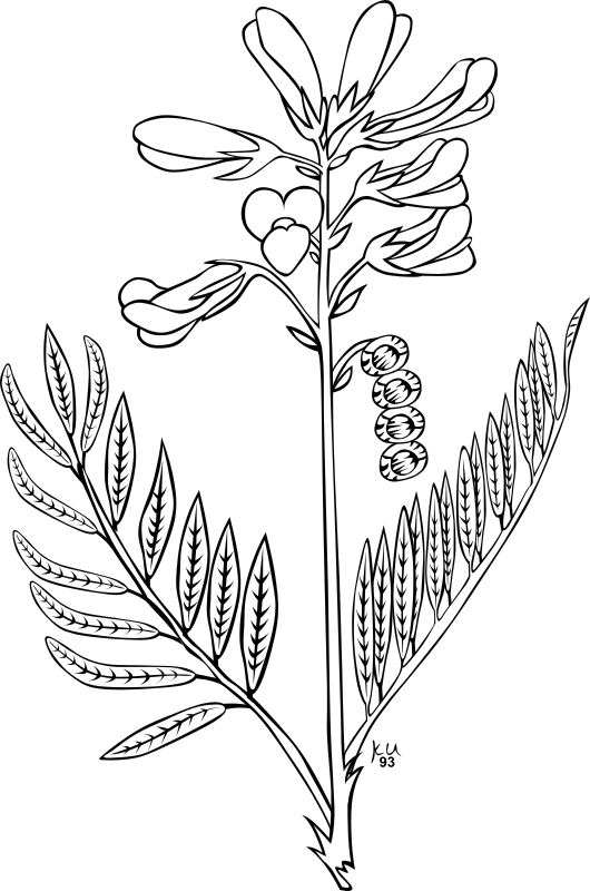 KU Hedysarum boreale by Gerald_G - ...done by Karl Urban at Umatilla National Forest in Oregon. They are meant to be used as coloring book pages for Celebrating Wildflowers and other educational activities. Karl put the drawings into the public domain...