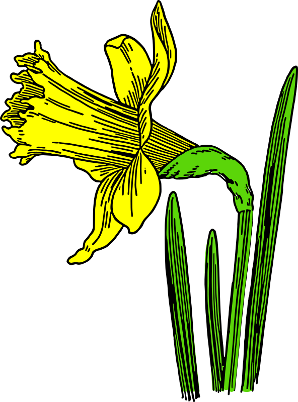 colored daffodil by pitr