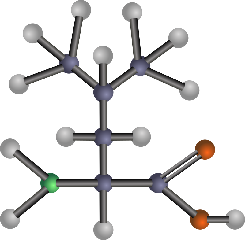 Leucine (amino acid) by J_Alves - A ball-and-stick model structure of non-polar, hydrophobic amino acid leucine (Leu, L). Carbon in blue-grey, oxygen in red, nitrogen in green, hydrogen in silver. Drawn in Inkscape.