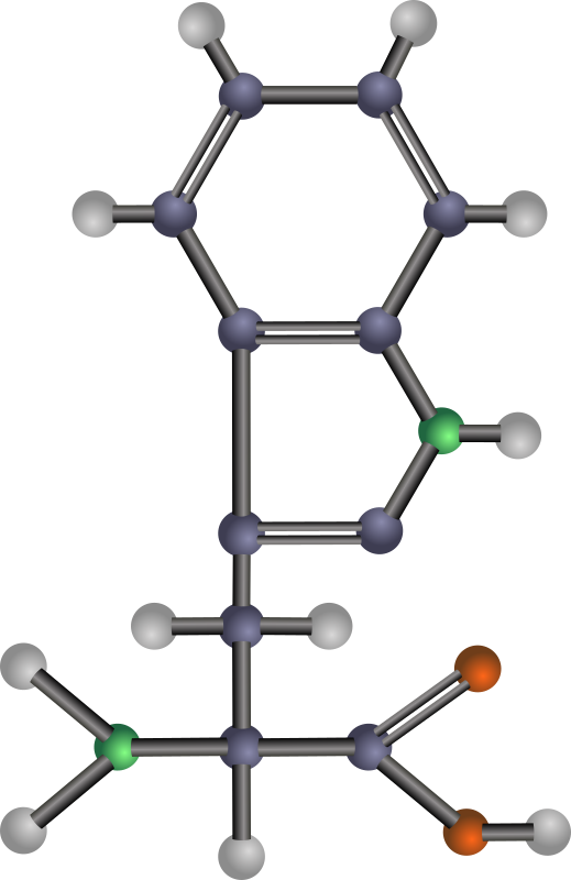 Tryptophan (amino acid) by J_Alves - A ball-and-stick model structure of non-polar, hydrophobic amino acid tryptophan (Trp, W). Carbon in blue-grey, oxygen in red, nitrogen in green, hydrogen in silver. Drawn in Inkscape.